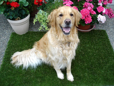 Golden Retriever on synthetic dog turf